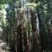 Küstenmammutbaum in Muir Woods