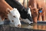 Kühe in der Wüste Neu Mexikos
