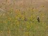 Königstyranne (Western Kingbirds)